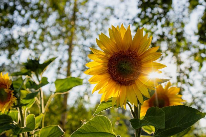 Auringonkukkia loppukesän valossa.