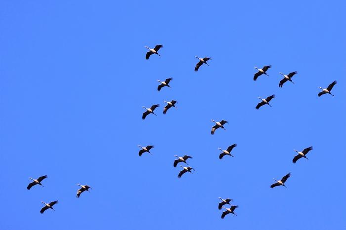 Lintujen kevätmuuttoa huhtikuussa 2021.