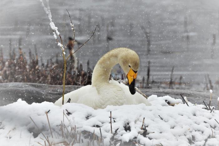 Joutsen toukokuisessa lumisateessa Jyväskylässä.