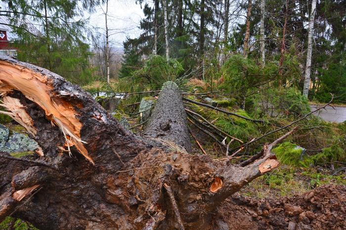 Liisa-myrskyn kaatama puu.