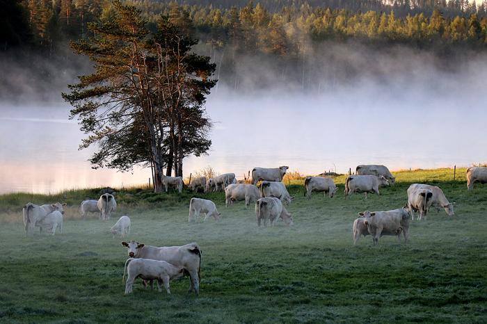 Lehmiä viileänä aamuna.