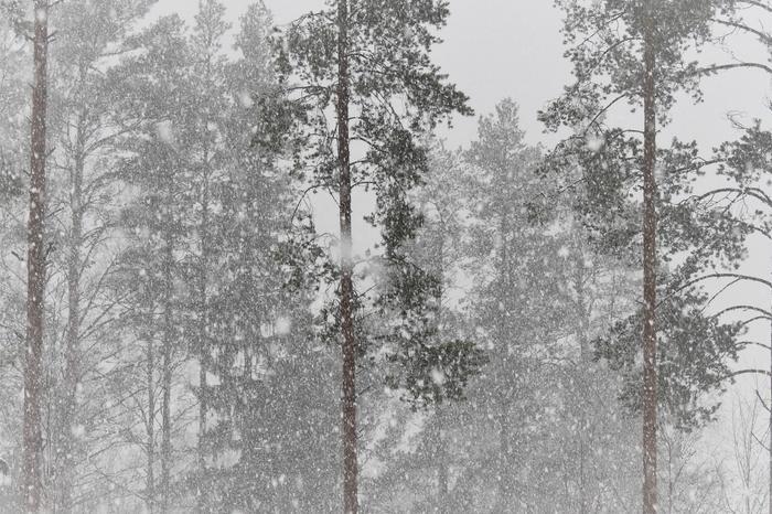 Lumipyryä metsässä