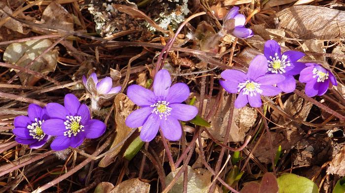 Sinivuokot kukkivat huhtikuussa 2020.