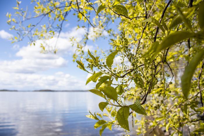 Tuomi kukki järven rannalla Hatanpään arboretumissa.