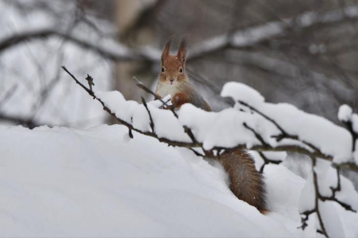 Orava lumisilla oksilla.