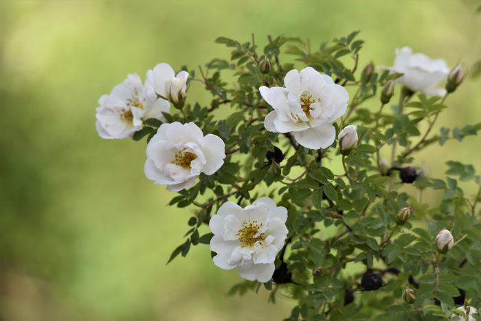 Juhannusruusut puhkesivat kukkaan lämpimässä alkukesän säässä.