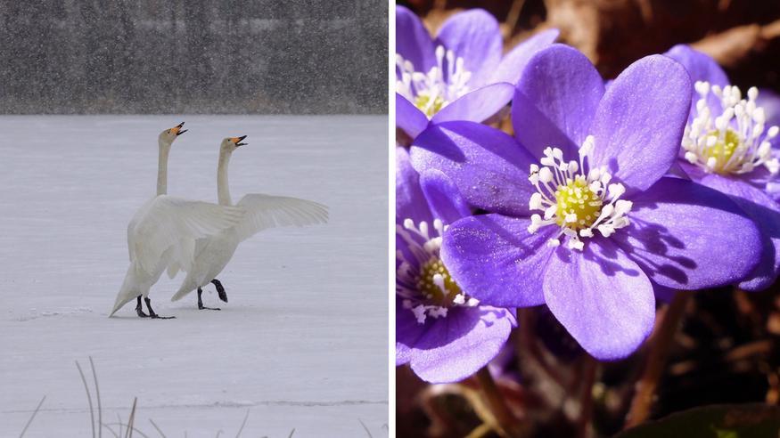 Tuore kuukausiennuste: Kevät keikkuu vielä – toiveikas arvio vappuviikosta