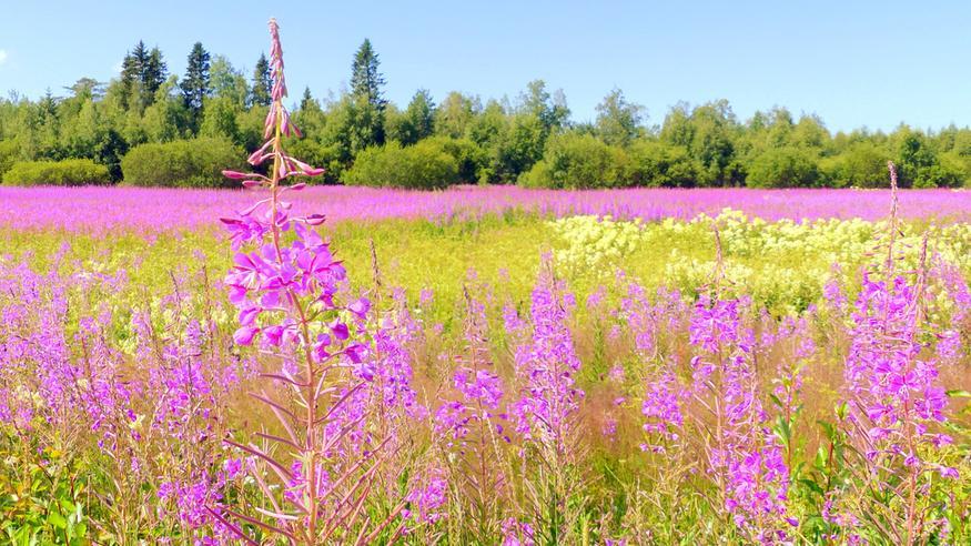 Tänään heinäkuun ensimmäinen hellepäivä ja loppuviikko tuo muutaman lisää – ensi viikolla viileämpi ilma kurvaa nurkille