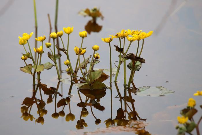 Rentukka aloittelee kukintojansa maan keskiosassa. Luonnossa onkin tapahtumassa suuria muutoksia tällä viikolla.